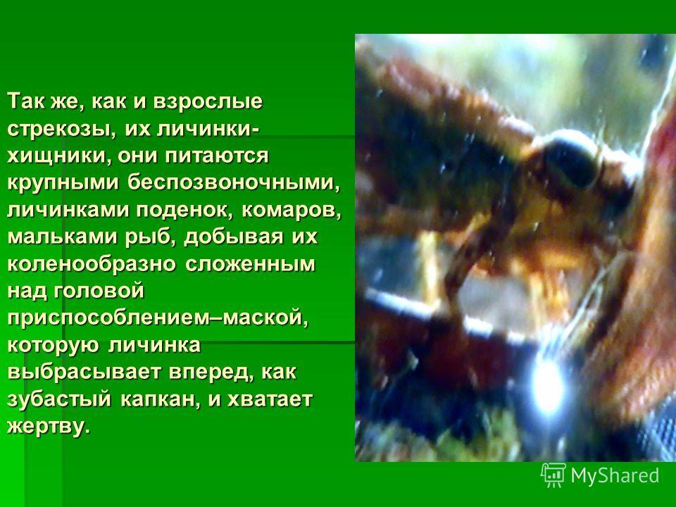 Так же, как и взрослые стрекозы, их личинки- хищники, они питаются крупными беспозвоночными, личинками поденок, комаров, мальками рыб, добывая их коленообразно сложенным над головой приспособлением–маской, которую личинка выбрасывает вперед, как зуба