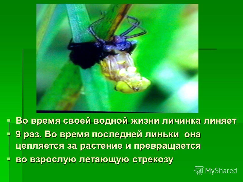 Во время своей водной жизни личинка линяет Во время своей водной жизни личинка линяет 9 раз. Во время последней линьки она цепляется за растение и превращается 9 раз. Во время последней линьки она цепляется за растение и превращается во взрослую лета