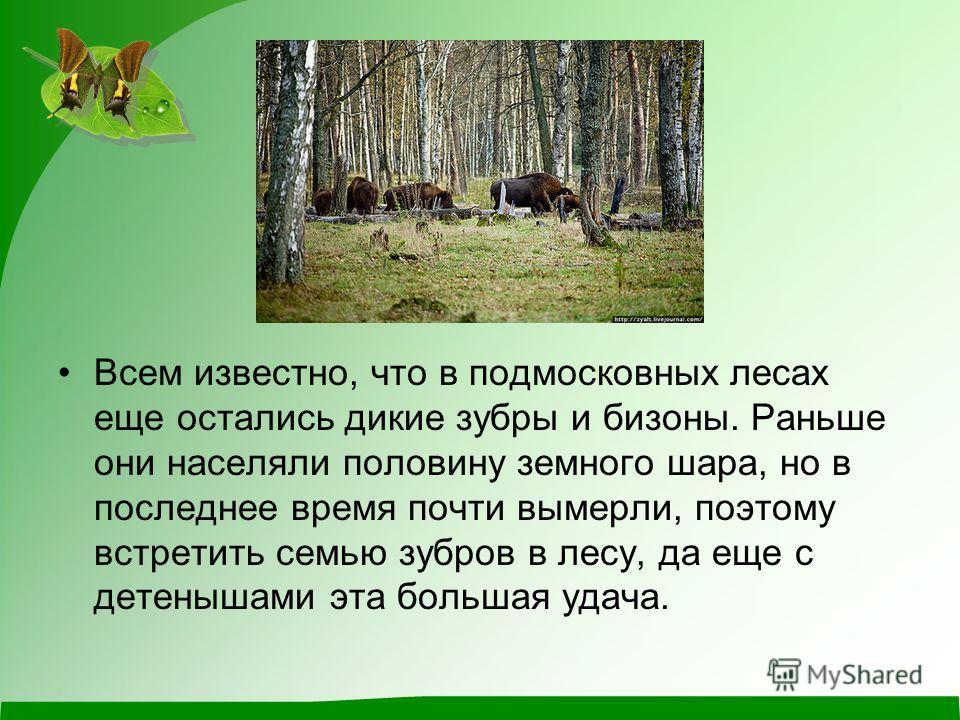 Всем известно, что в подмосковных лесах еще остались дикие зубры и бизоны. Раньше они населяли половину земного шара, но в последнее время почти вымерли, поэтому встретить семью зубров в лесу, да еще с детенышами эта большая удача.