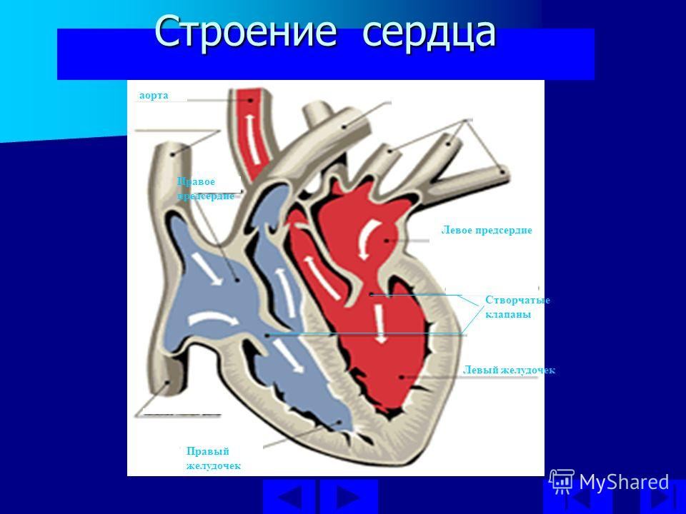 Строение сердца Левый желудочек Левое предсердие аорта Правое предсердие Правый желудочек Створчатые клапаны