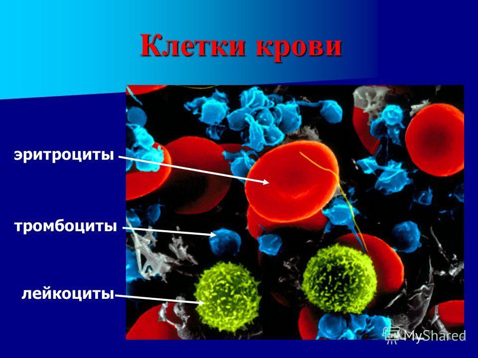 Клетки крови эритроциты лейкоциты тромбоциты