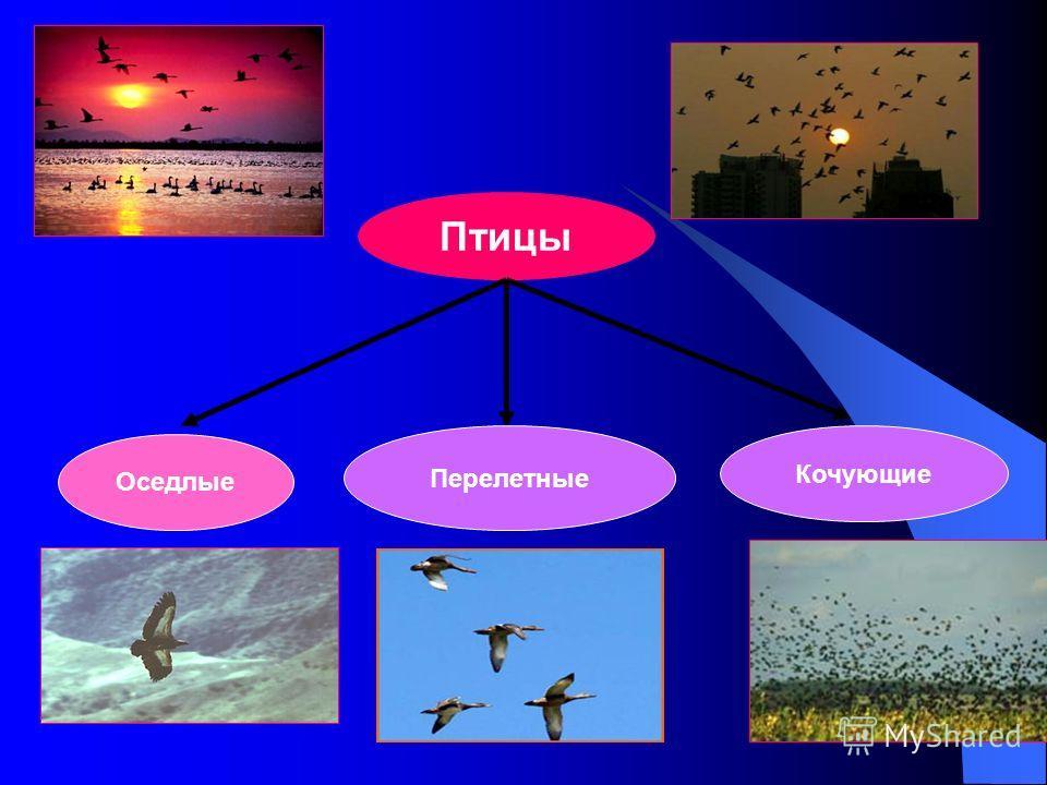Птицы Оседлые Перелетные Кочующие
