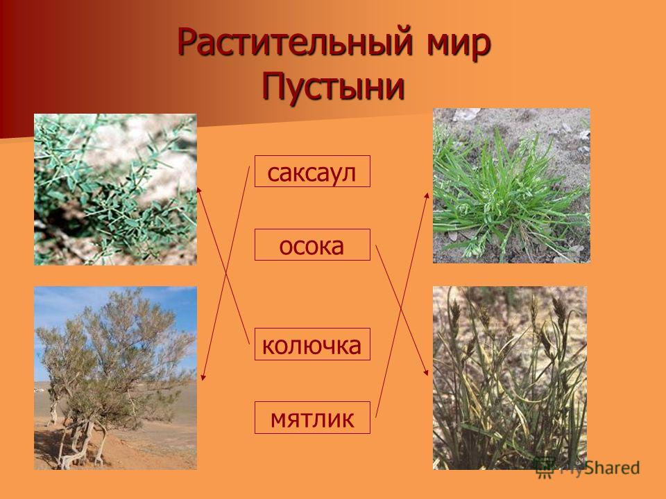 Растительный мир Пустыни саксаул осока колючка мятлик