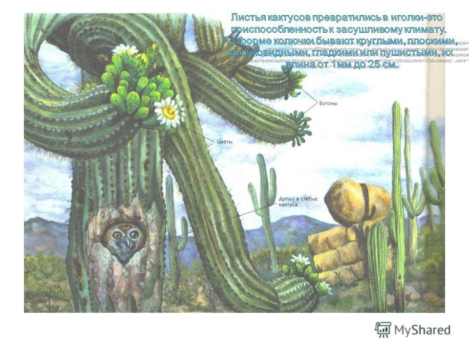 Виктория из семейства Нимфей- ных обитает в тропических во- доёмах Южной Америки. Круглые до 2 м в диаметре, листья виктории с загнутыми краями могут удержать 10 летнего ребёнка, груз в 35 кг. С боков листья защищены мощными зубцами, а с нижней шипик