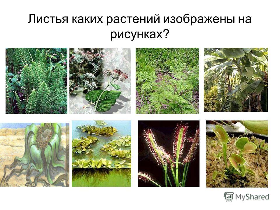 Как ты считаешь? 1 - во что могут превращаться листья растений? 2 - каким органом являются колючки кактусов? 3 - каким органом являются усики гороха? 4 - как кормит росянку её лист? 5 – листья какого растения являются долгожителями? 6 – у какого раст
