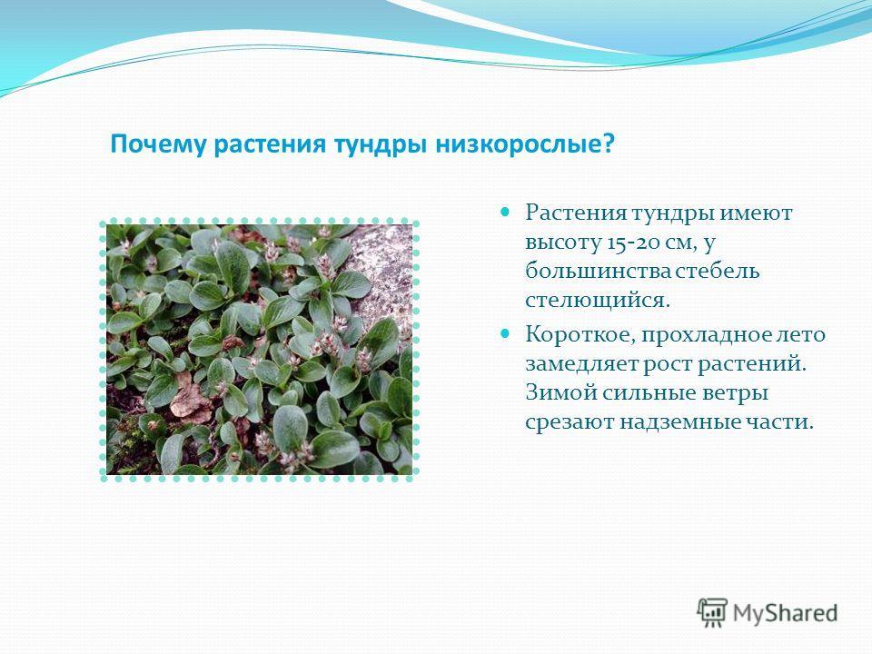 Растительный мир тундры Карликовая берёза Карликовая ива Ягель и брусника Морошка