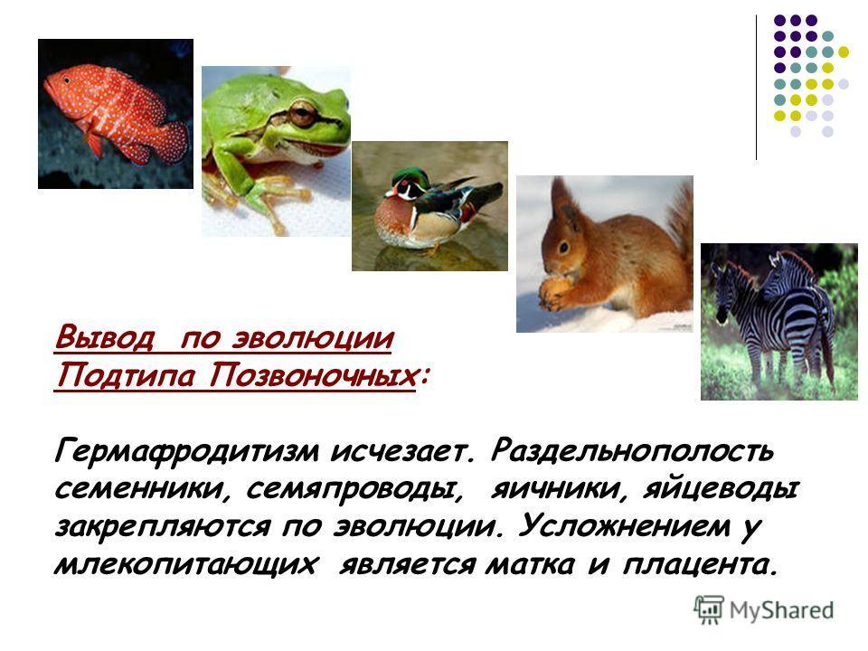 Вывод по эволюции Подтипа Позвоночных: Гермафродитизм исчезает. Раздельнополость семенники, семяпроводы, яичники, яйцеводы закрепляются по эволюции. Усложнением у млекопитающих является матка и плацента.