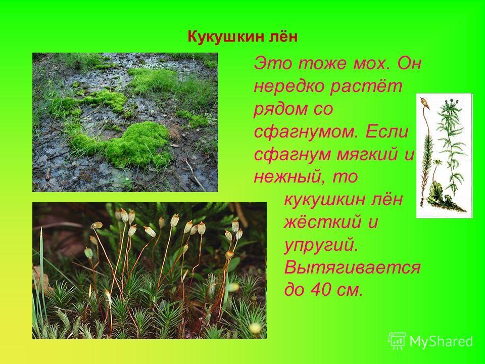 Сфагнум Это мох, который можно увидеть на болоте. Он может быть зелёным, бурым, белым и даже красным. Растёт он всю свою жизнь. Точнее растёт его верхняя часть, а нижняя постепенно отмирает, образуя торф. Слово «сфагнум» в переводе с греческого означ
