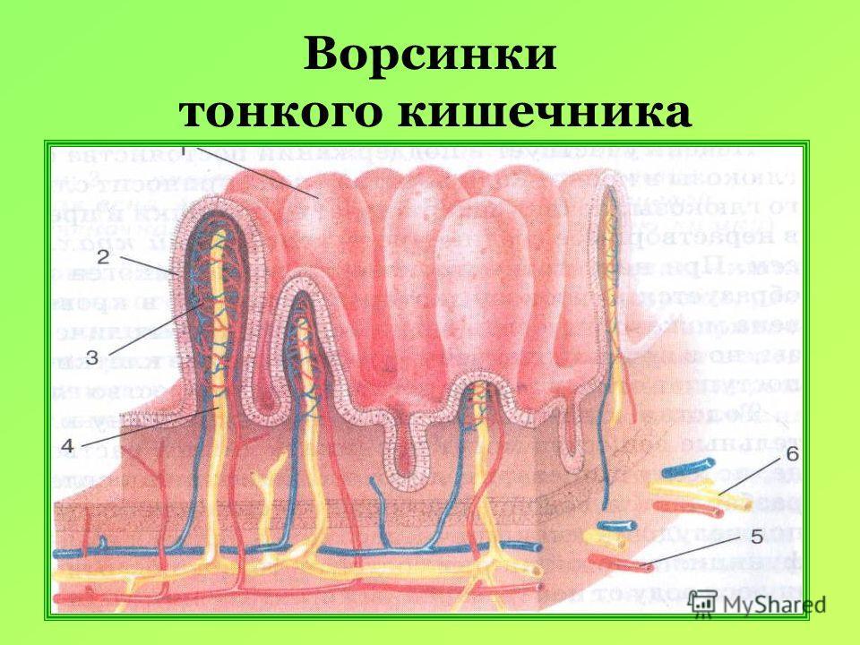 Ворсинки тонкого кишечника