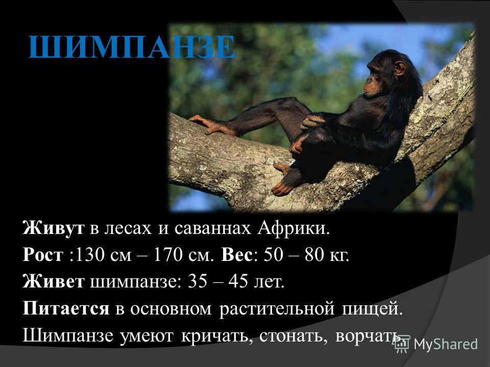 ШИМПАНЗЕ Живут в лесах и саваннах Африки. Рост :130 см – 170 см. Вес: 50 – 80 кг. Живет шимпанзе: 35 – 45 лет. Питается в основном растительной пищей. Шимпанзе умеют кричать, стонать, ворчать.