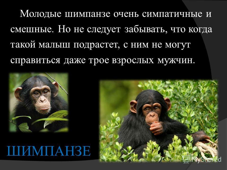ШИМПАНЗЕ Молодые шимпанзе очень симпатичные и смешные. Но не следует забывать, что когда такой малыш подрастет, с ним не могут справиться даже трое взрослых мужчин.
