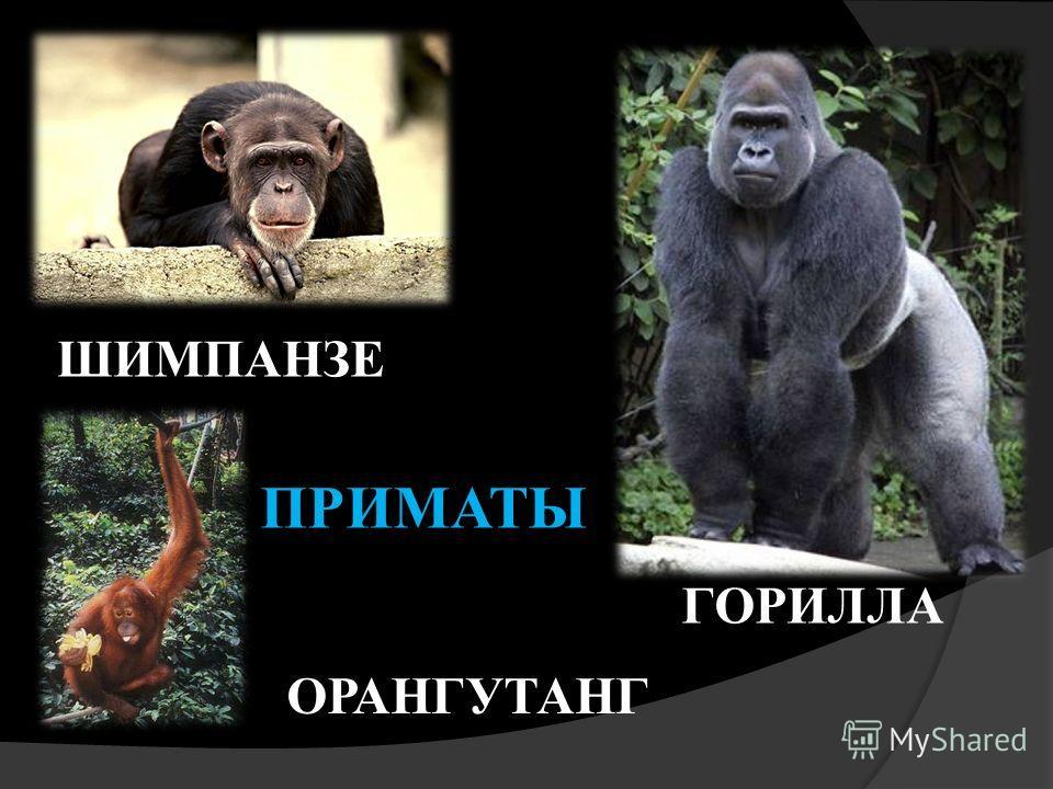 ПРИМАТЫ ШИМПАНЗЕ ГОРИЛЛА ОРАНГУТАНГ
