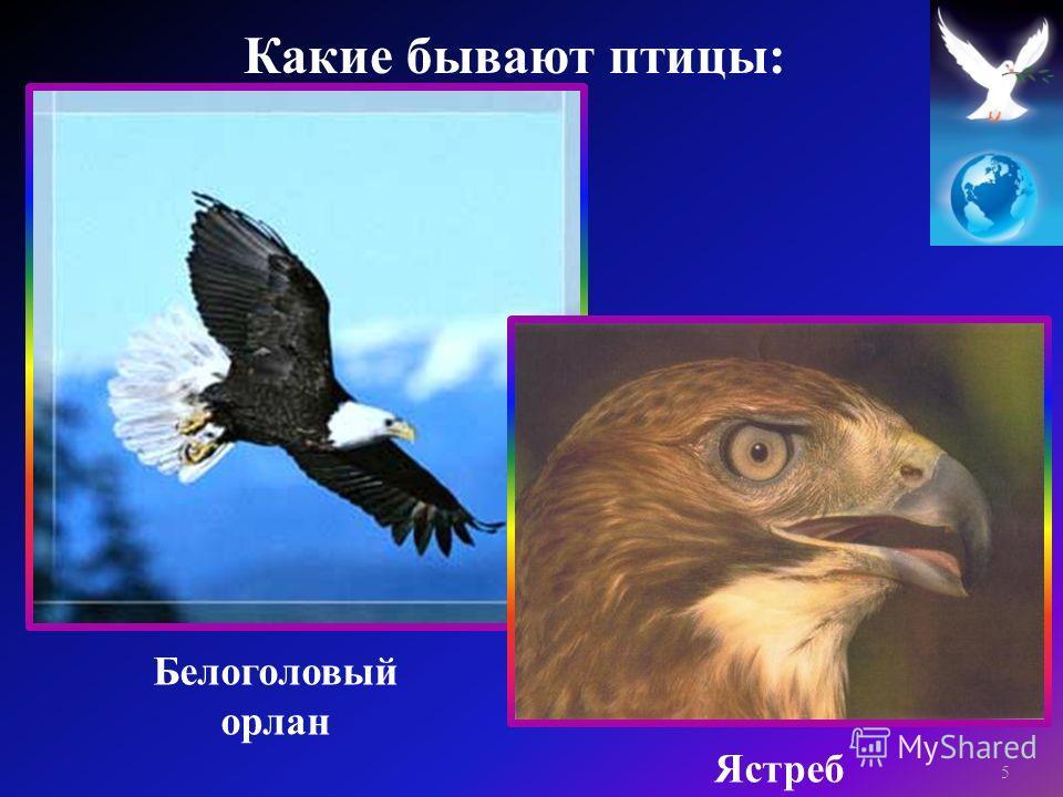 Белоголовый орлан Ястреб 5 Какие бывают птицы :