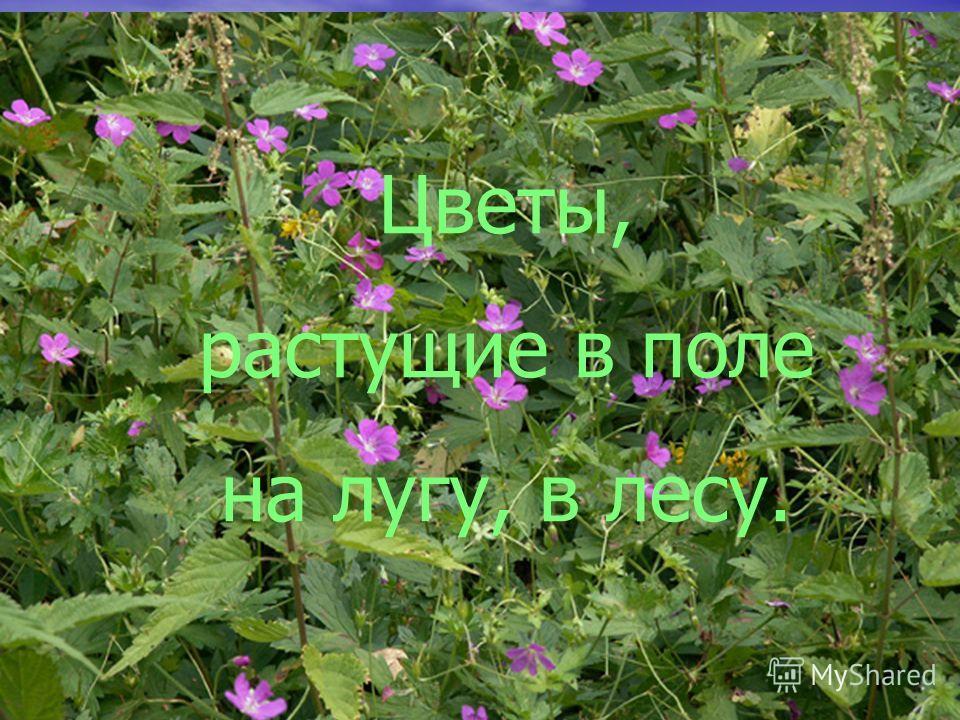 Цветы, растущие в поле на лугу, в лесу.