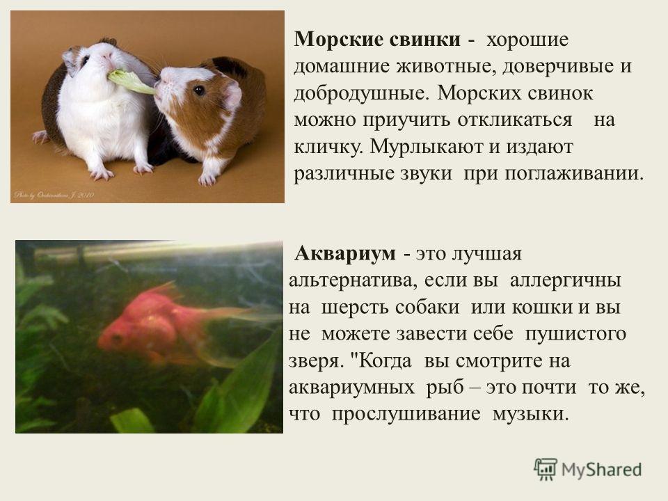 Морские свинки - хорошие домашние животные, доверчивые и добродушные. Морских свинок можно приучить откликаться на кличку. Мурлыкают и издают различные звуки при поглаживании. Аквариум - это лучшая альтернатива, если вы аллергичны на шерсть собаки ил