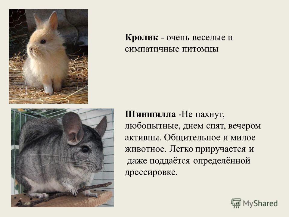 Кролик - очень веселые и симпатичные питомцы Шиншилла -Не пахнут, любопытные, днем спят, вечером активны. Общительное и милое животное. Легко приручается и даже поддаётся определённой дрессировке.