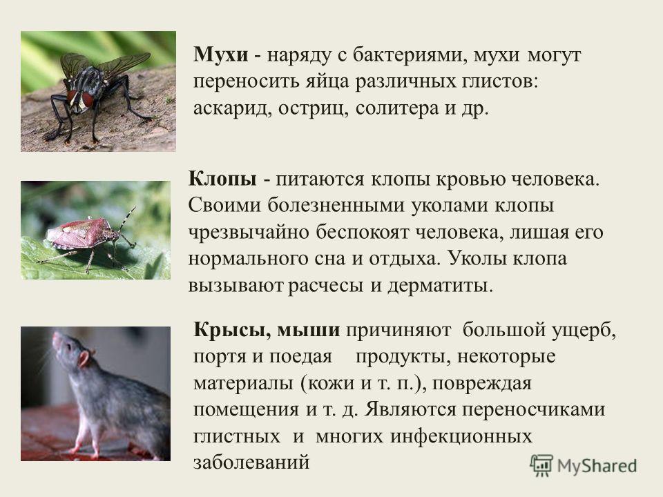 Мухи - наряду с бактериями, мухи могут переносить яйца различных глистов: аскарид, остриц, солитера и др. Клопы - питаются клопы кровью человека. Своими болезненными уколами клопы чрезвычайно беспокоят человека, лишая его нормального сна и отдыха. Ук