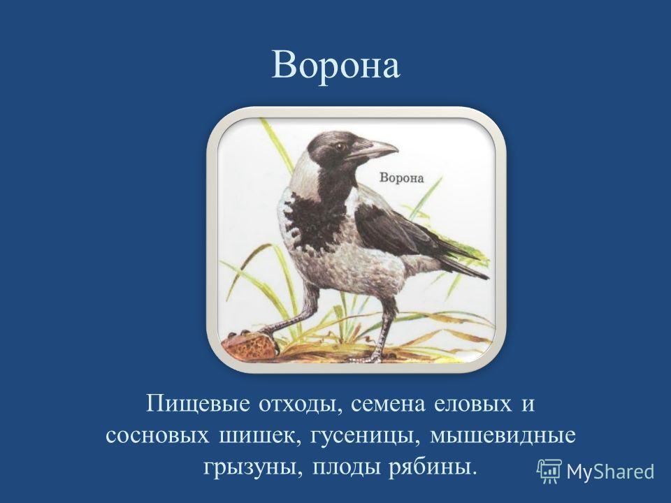 Ворона Пищевые отходы, семена еловых и сосновых шишек, гусеницы, мышевидные грызуны, плоды рябины.