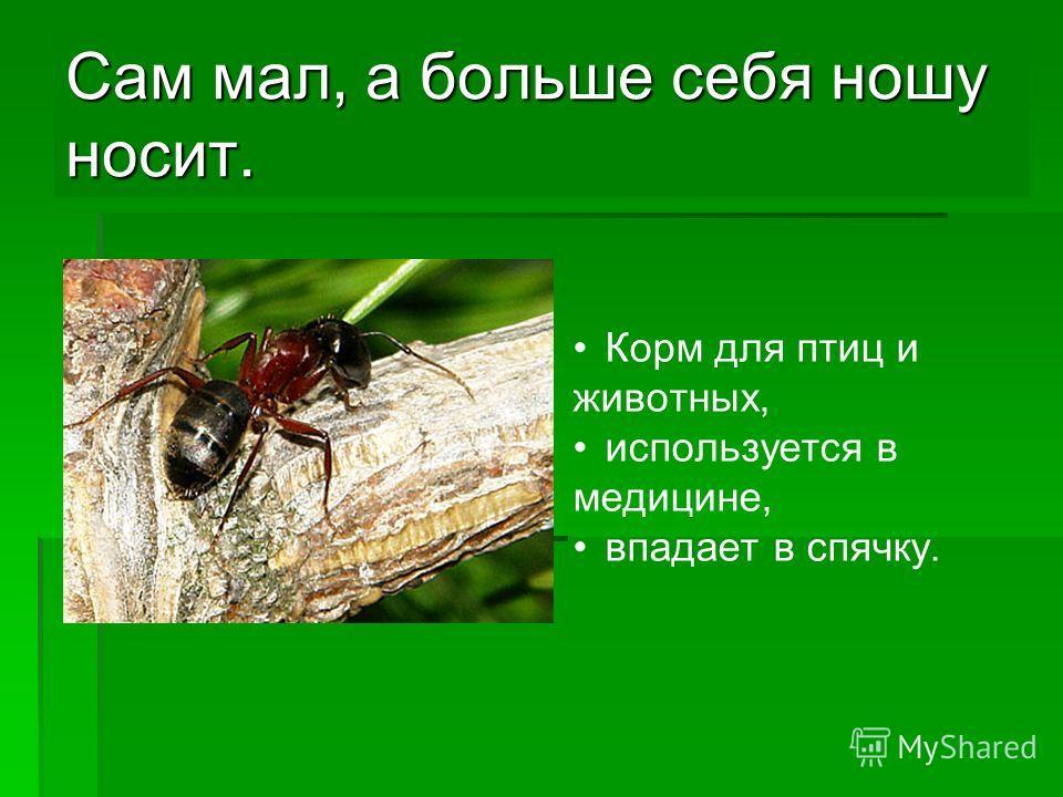 Сам мал, а больше себя ношу носит. Корм для птиц и животных, используется в медицине, впадает в спячку.