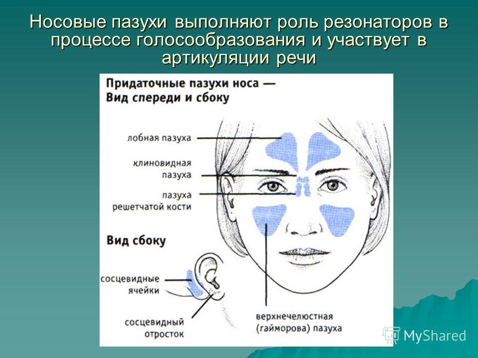 Носовые пазухи выполняют роль резонаторов в процессе голосообразования и участвует в артикуляции речи