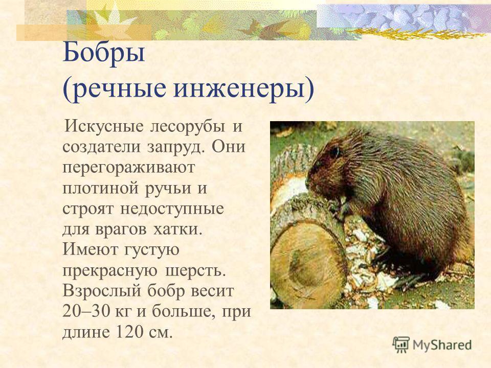 Лось Лесной великан Лось одно из самых больших животных нашего бора. Вес до 500 кг, высота до 2 м 30 см. Питается ветками деревьев, травой, мхами и лишайниками.