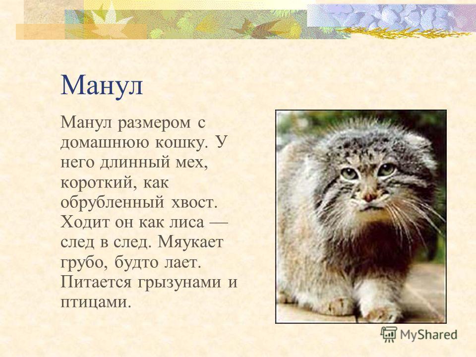 Снежный барс Ирбис Длина тела 103–130 см, хвоста 80–105 см, масса 22–39 кг. Летом живет в горах, зимой спускается в лесной пояс. Ведет ночной образ жизни. Охотится на горных козлов и мелких животных.