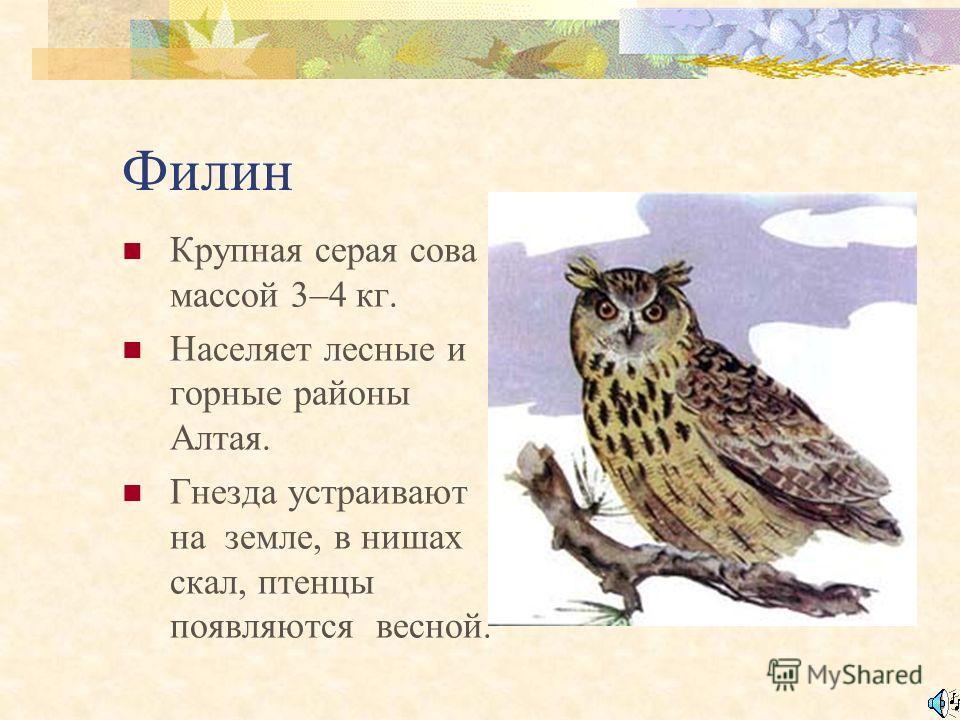 Белая сова Кочующая птица держится около лесов. Крупная сова, чисто белая, без «ушей». Птенцы появляются в октябре – феврале.