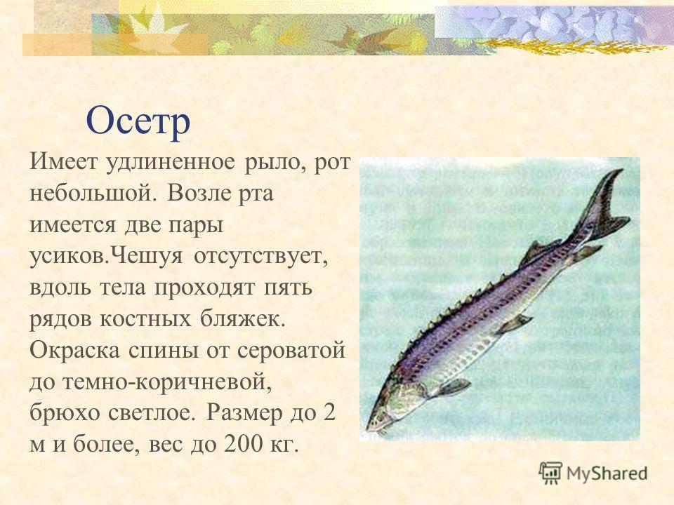 Стерлядь Рыло удлиненное, узкое, заостренное. Усики длинные бахромчатые. Спина серовато-бурая, брюхо белое. Максимальная длина рыбы 125 см, вес до 16 кг.