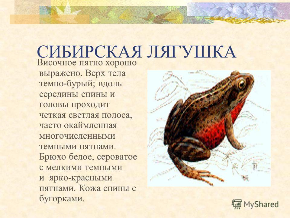 Углозуб сибирский Размеры достигают 12–13 см, но чаще бывают 8–9 см, на которых меньше половины приходится на хвост. Тесно связан с таежными лесами.