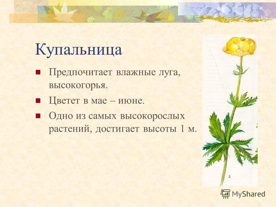 Прострел (сон-трава) Растет на травянистых солнечных возвышенностях. Цветет в марте – мае. Листья появляются лишь после цветения.