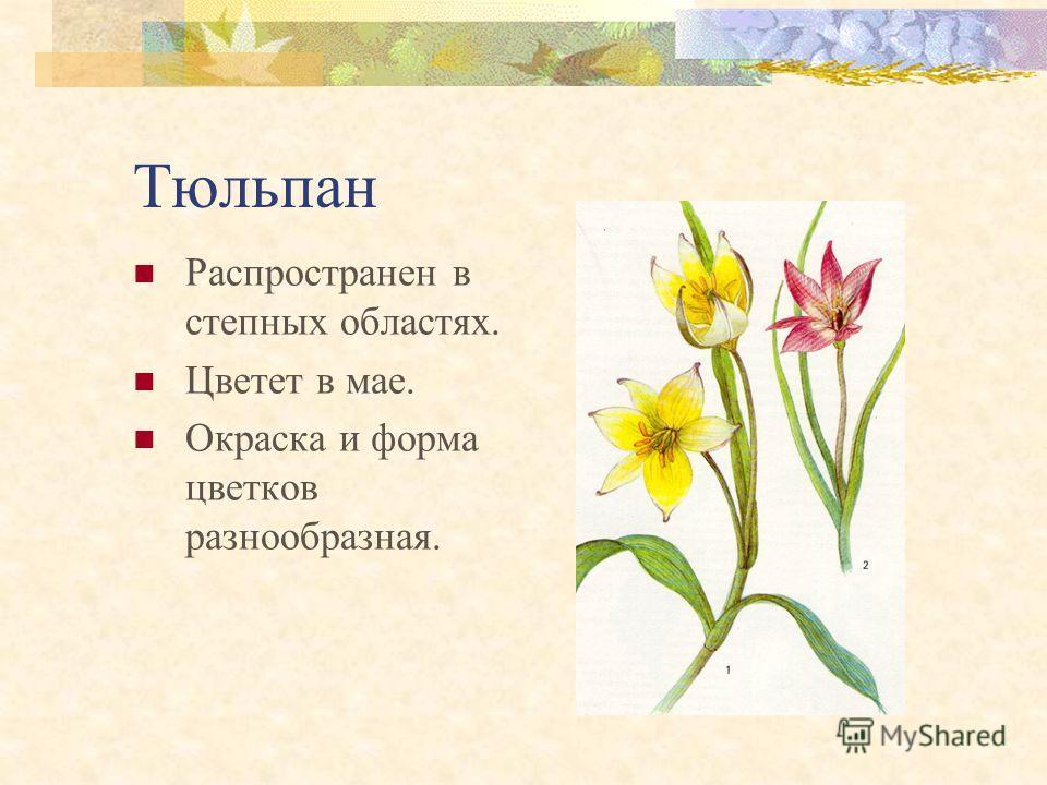 Купальница Предпочитает влажные луга, высокогорья. Цветет в мае – июне. Одно из самых высокорослых растений, достигает высоты 1 м.