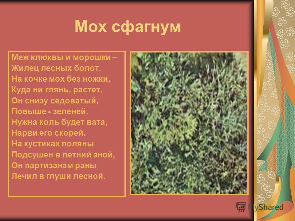 Мох сфагнум Меж клюквы и морошки – Жилец лесных болот. На кочке мох без ножки, Куда ни глянь, растет. Он снизу седоватый, Повыше - зеленей. Нужна коль будет вата, Нарви его скорей. На кустиках поляны Подсушен в летний зной, Он партизанам раны Лечил в