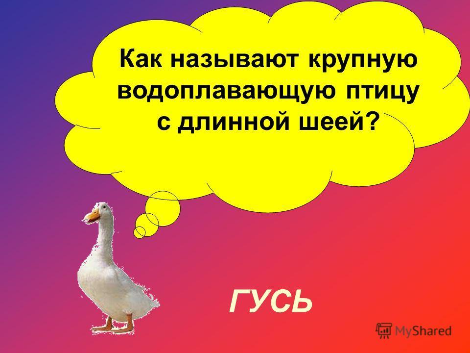 Как называют крупную водоплавающую птицу с длинной шеей? ГУСЬ