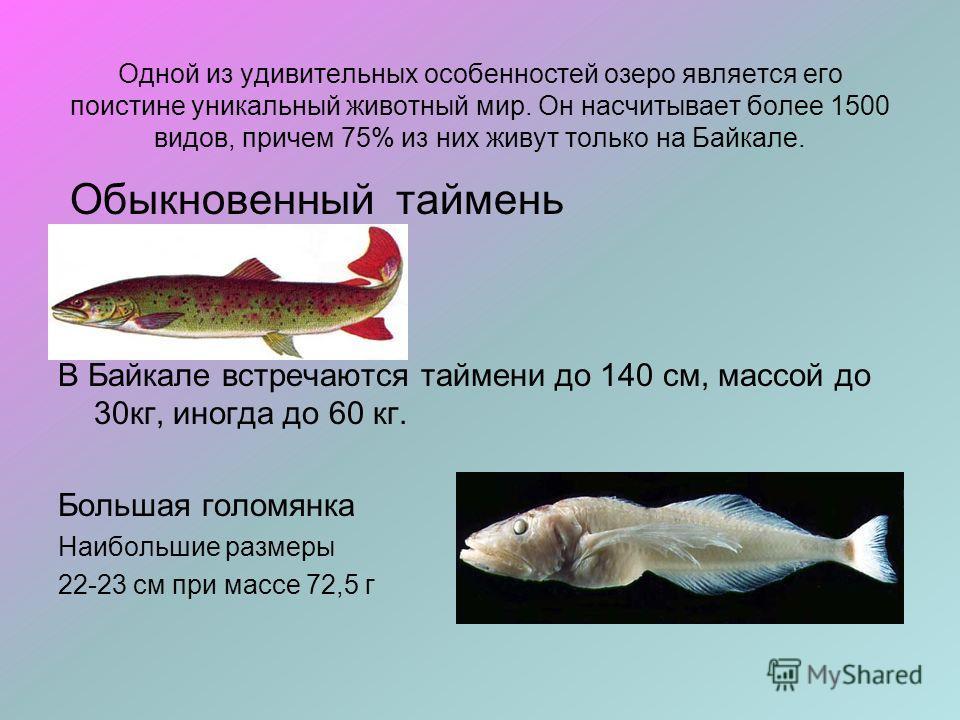 Одной из удивительных особенностей озеро является его поистине уникальный животный мир. Он насчитывает более 1500 видов, причем 75% из них живут только на Байкале. Обыкновенный таймень В Байкале встречаются таймени до 140 см, массой до 30кг, иногда д