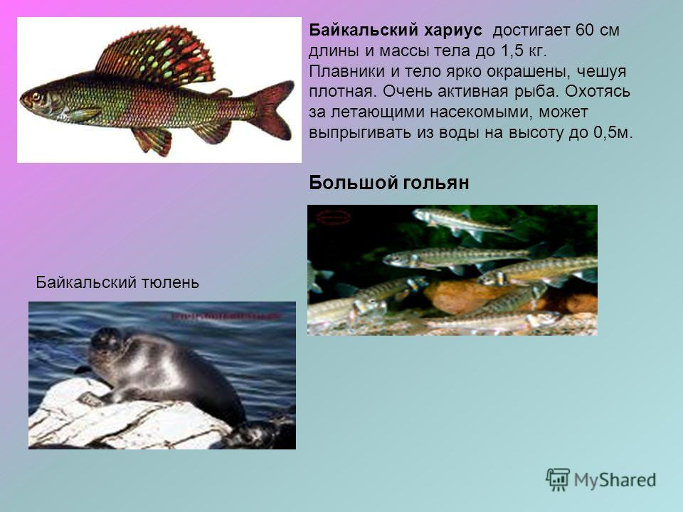 Байкальский хариус достигает 60 см длины и массы тела до 1,5 кг. Плавники и тело ярко окрашены, чешуя плотная. Очень активная рыба. Охотясь за летающими насекомыми, может выпрыгивать из воды на высоту до 0,5м. Большой гольян Байкальский тюлень