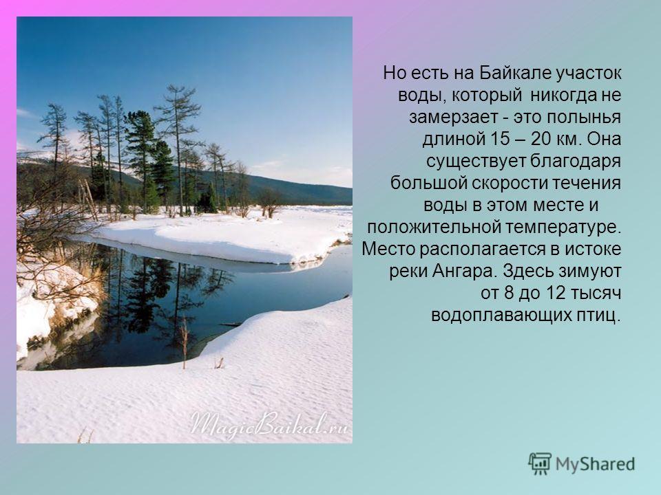Но есть на Байкале участок воды, который никогда не замерзает - это полынья длиной 15 – 20 км. Она существует благодаря большой скорости течения воды в этом месте и положительной температуре. Место располагается в истоке реки Ангара. Здесь зимуют от