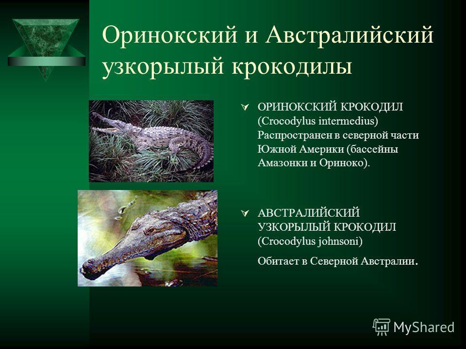 Оринокский и Австралийский узкорылый крокодилы ОРИНОКСКИЙ КРОКОДИЛ (Crocodylus intermedius) Распространен в северной части Южной Америки (бассейны Амазонки и Ориноко). АВСТРАЛИЙСКИЙ УЗКОРЫЛЫЙ КРОКОДИЛ (Crocodylus johnsoni) Обитает в Северной Австрали
