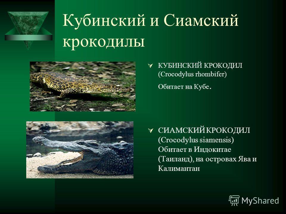 Кубинский и Сиамский крокодилы КУБИНСКИЙ КРОКОДИЛ (Crocodylus rhombifer) Обитает на Кубе. СИАМСКИЙ КРОКОДИЛ (Crocodylus siamensis) Обитает в Индокитае (Таиланд), на островах Ява и Калимантан