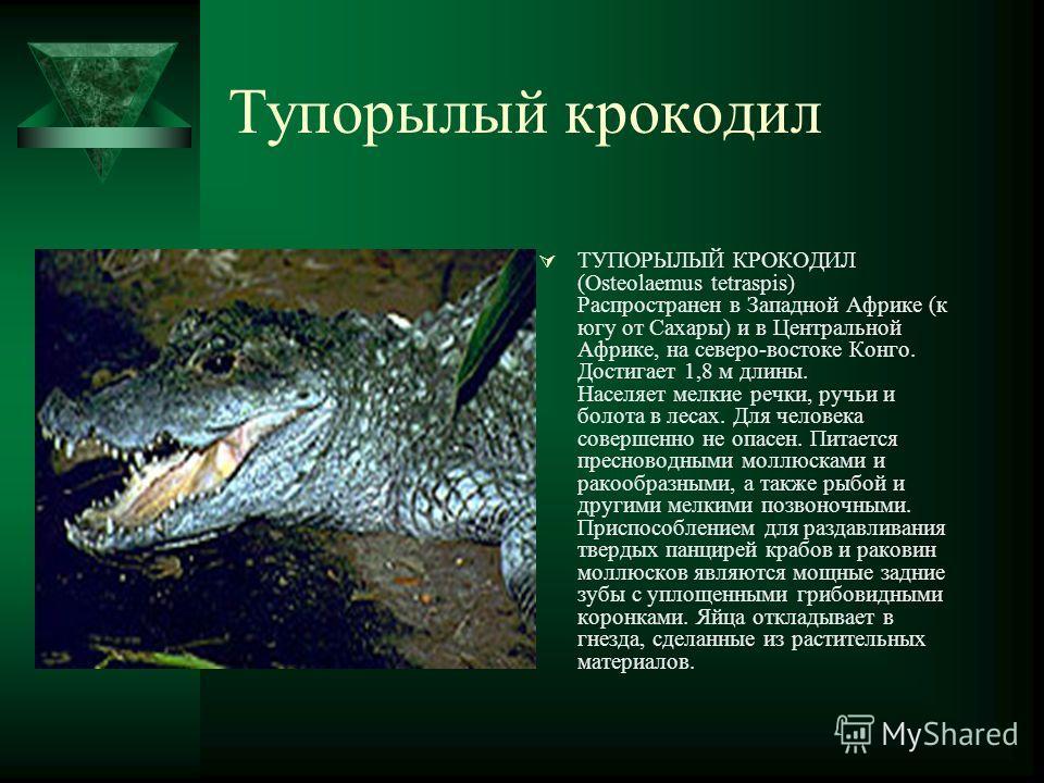 Тупорылый крокодил ТУПОРЫЛЫЙ КРОКОДИЛ (Osteolaemus tetraspis) Распространен в Западной Африке (к югу от Сахары) и в Центральной Африке, на северо-востоке Конго. Достигает 1,8 м длины. Населяет мелкие речки, ручьи и болота в лесах. Для человека соверш