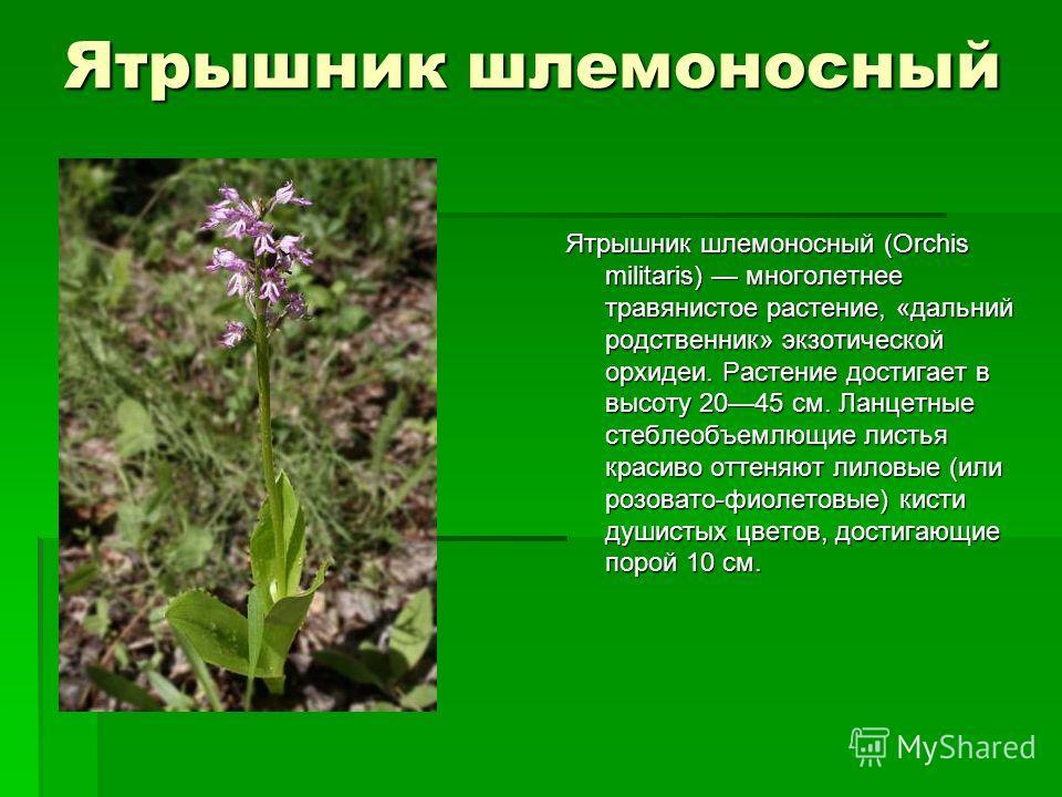 Ятрышник шлемоносный Ятрышник шлемоносный (Orchis militaris) многолетнее травянистое растение, «дальний родственник» экзотической орхидеи. Растение достигает в высоту 2045 см. Ланцетные стеблеобъемлющие листья красиво оттеняют лиловые (или розовато-ф
