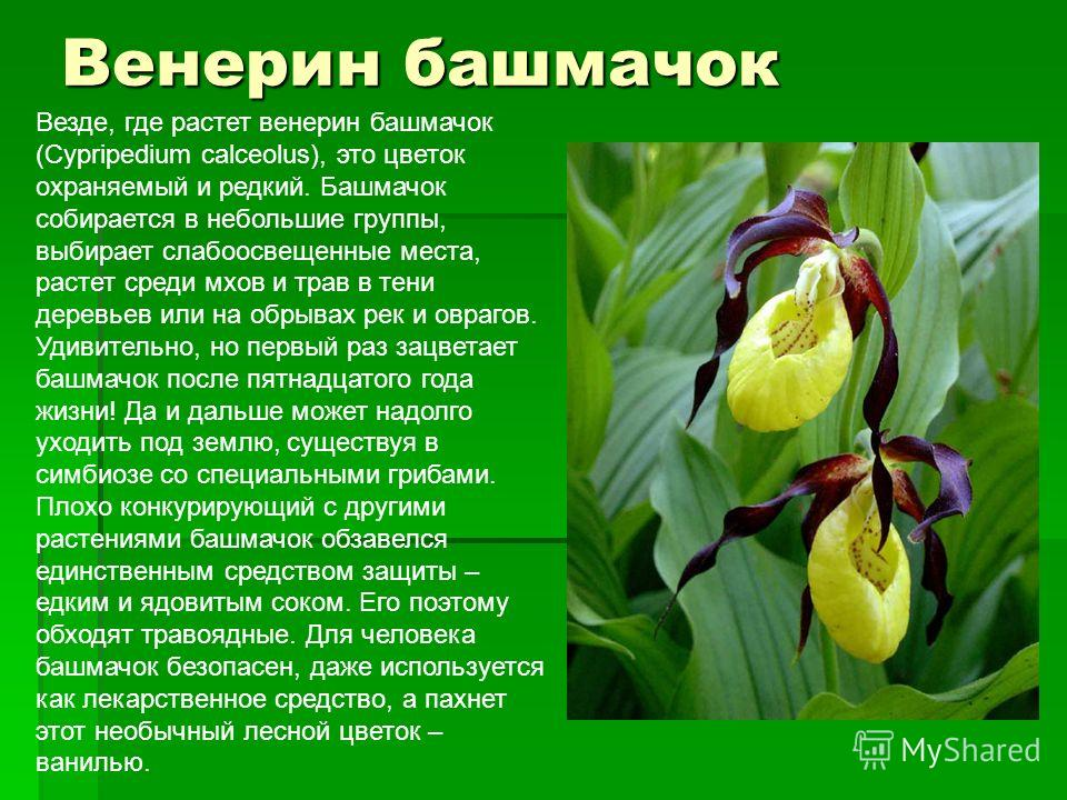 Венерин башмачок Везде, где растет венерин башмачок (Cypripedium calceolus), это цветок охраняемый и редкий. Башмачок собирается в небольшие группы, выбирает слабоосвещенные места, растет среди мхов и трав в тени деревьев или на обрывах рек и оврагов
