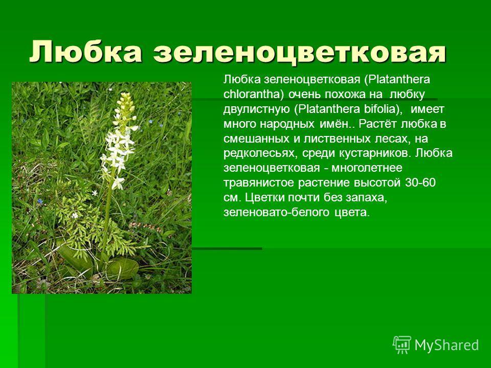 Любка зеленоцветковая Любка зеленоцветковая (Platanthera chlorantha) очень похожа на любку двулистную (Platanthera bifolia), имеет много народных имён.. Растёт любка в смешанных и лиственных лесах, на редколесьях, среди кустарников. Любка зеленоцветк