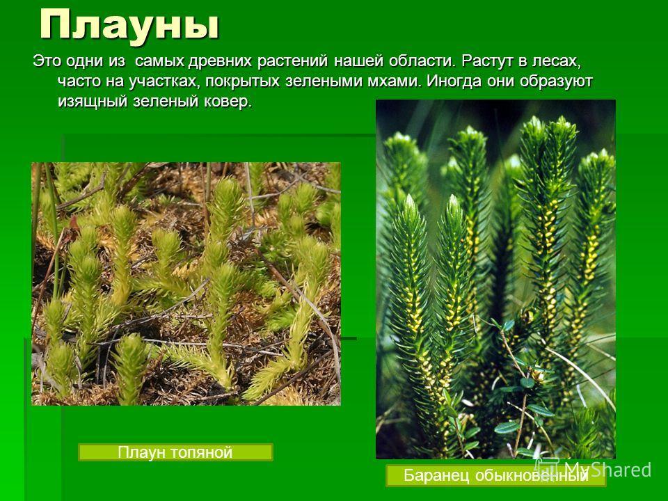Плауны Это одни из самых древних растений нашей области. Растут в лесах, часто на участках, покрытых зелеными мхами. Иногда они образуют изящный зеленый ковер. Баранец обыкновенный Плаун топяной