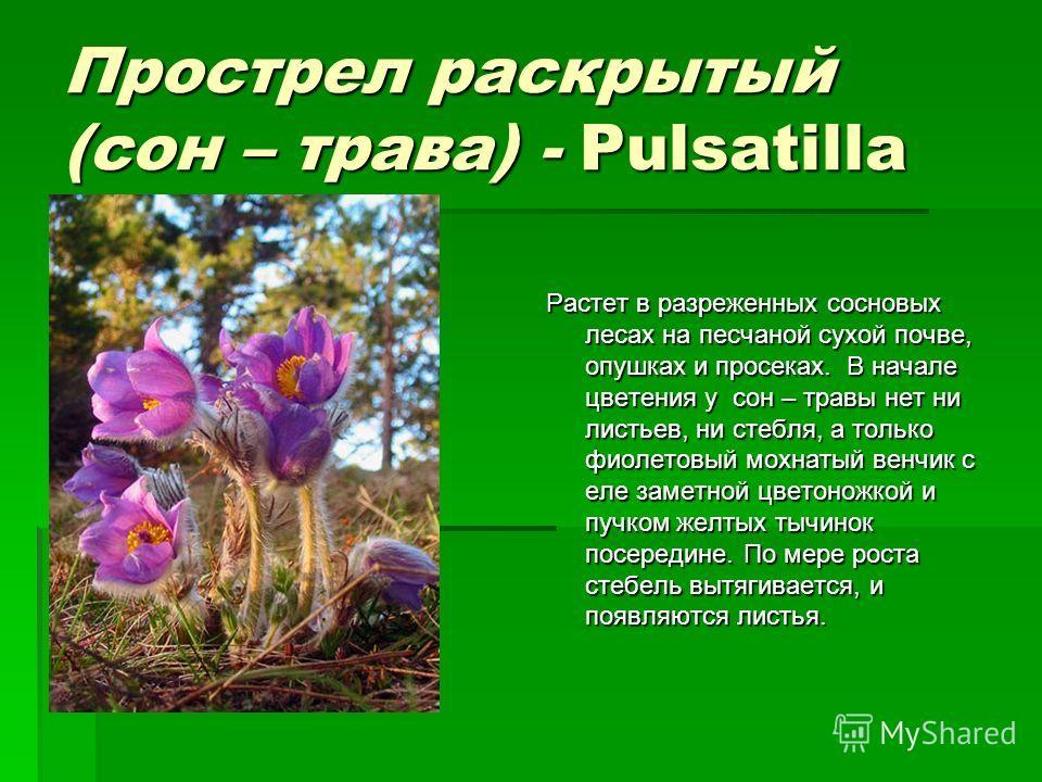 Прострел раскрытый (сон – трава) - Pulsatilla Растет в разреженных сосновых лесах на песчаной сухой почве, опушках и просеках. В начале цветения у сон – травы нет ни листьев, ни стебля, а только фиолетовый мохнатый венчик с еле заметной цветоножкой и