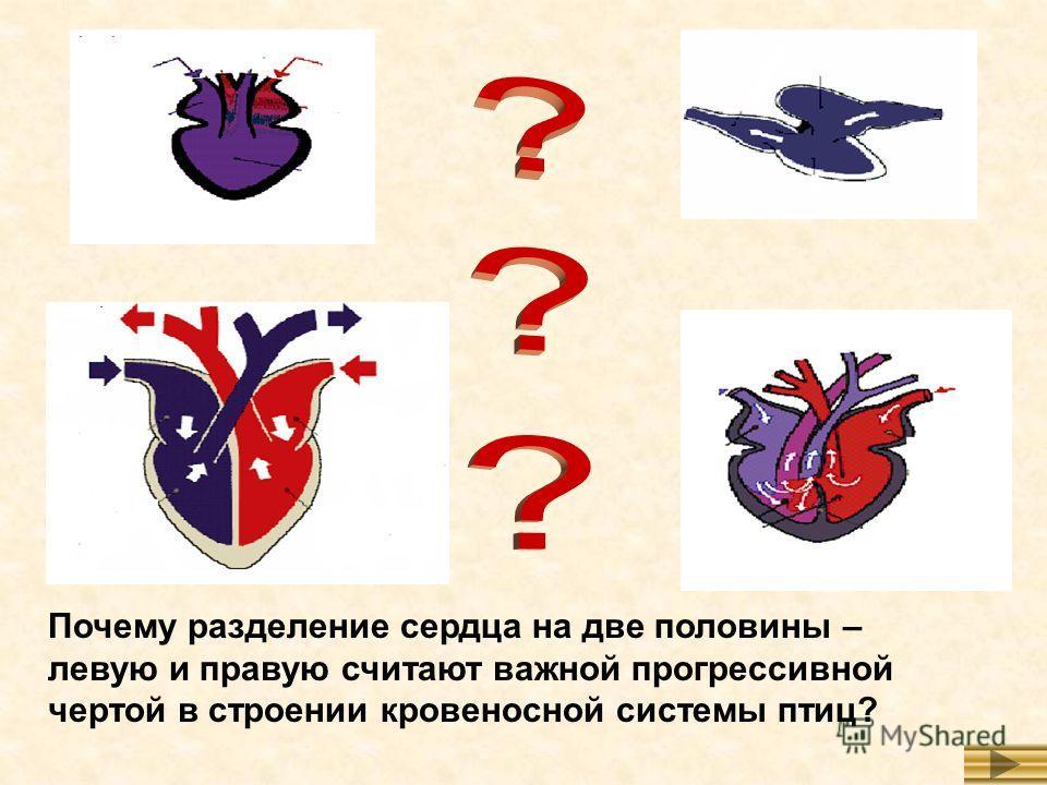 Почему разделение сердца на две половины – левую и правую считают важной прогрессивной чертой в строении кровеносной системы птиц?