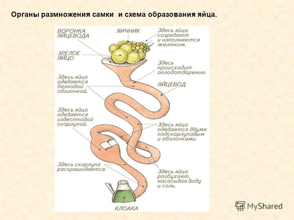 Органы размножения самки и схема образования яйца.