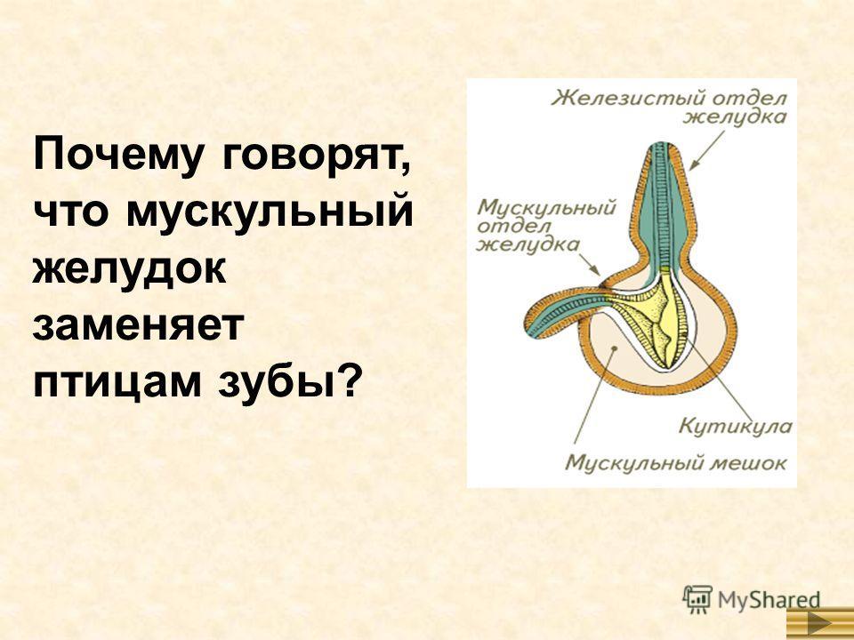 Почему говорят, что мускульный желудок заменяет птицам зубы?