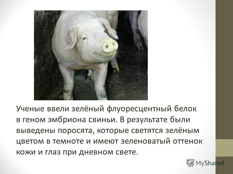 Ученые ввели зелёный флуоресцентный белок в геном эмбриона свиньи. В результате были выведены поросята, которые светятся зелёным цветом в темноте и имеют зеленоватый оттенок кожи и глаз при дневном свете.
