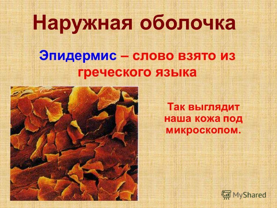 Наружная оболочка Эпидермис – слово взято из греческого языка Так выглядит наша кожа под микроскопом.