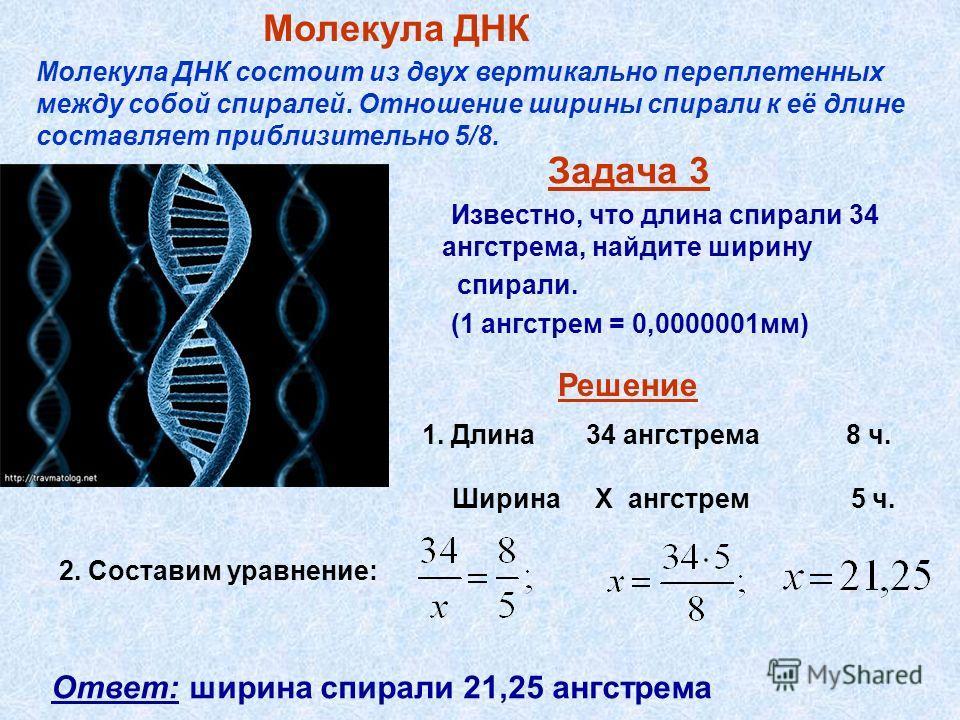 Задача 3 Известно, что длина спирали 34 ангстрема, найдите ширину спирали. (1 ангстрем = 0,0000001мм) Молекула ДНК Молекула ДНК состоит из двух вертикально переплетенных между собой спиралей. Отношение ширины спирали к её длине составляет приблизител